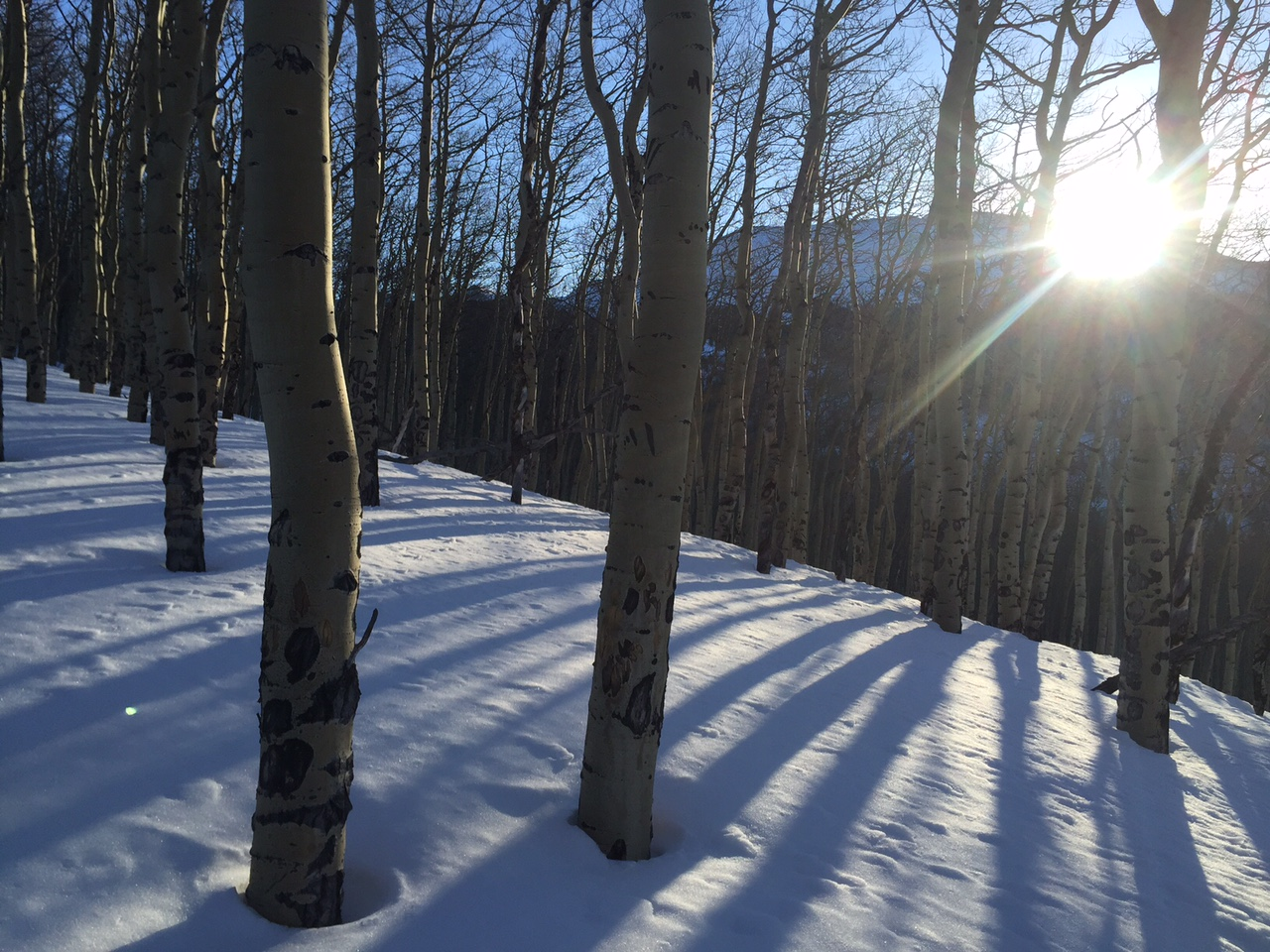 Skinning through Aspens at sunrise.